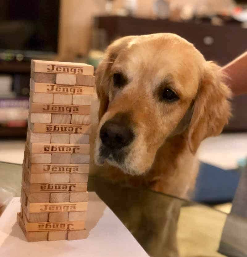 Dozer the golden retriever wanting to join in on a game of Jenga
