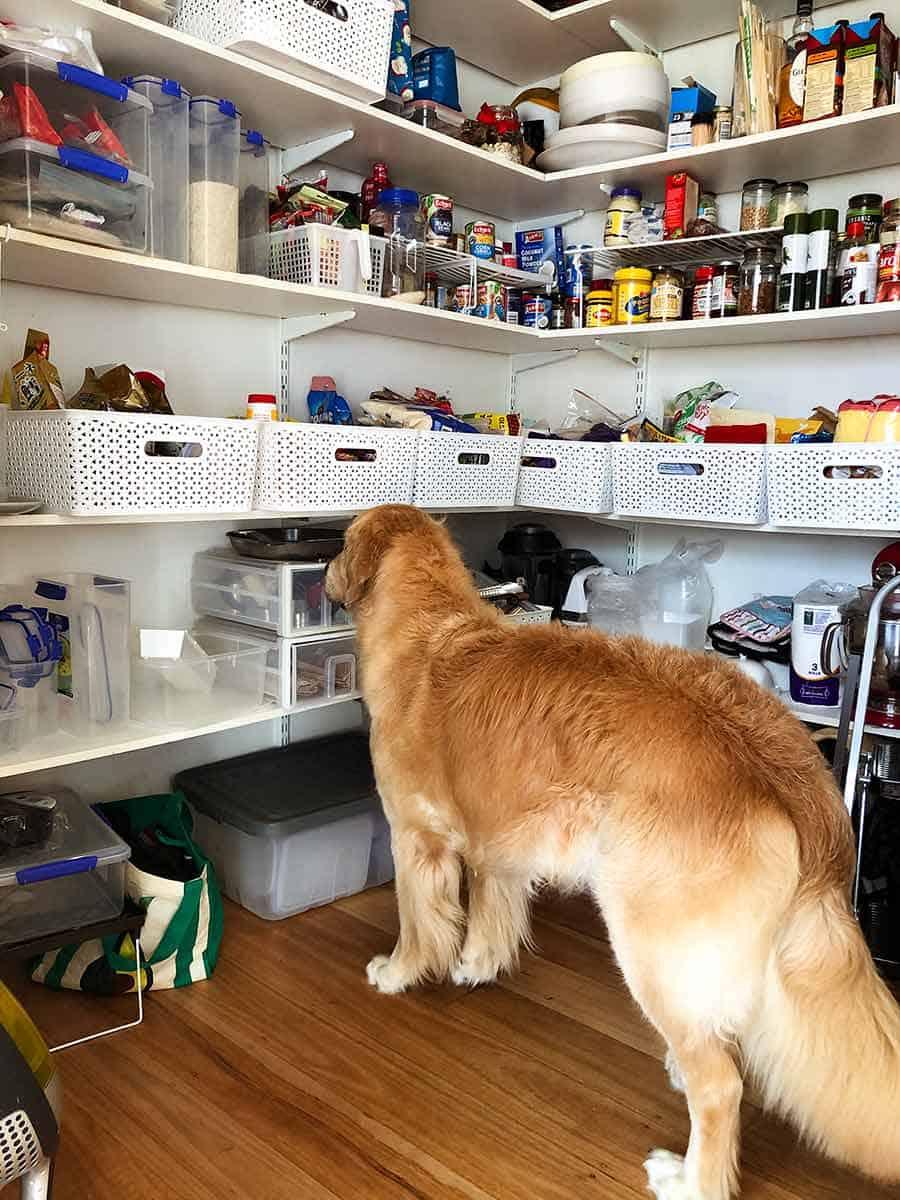 Dozer the golden retriever pantry in new home