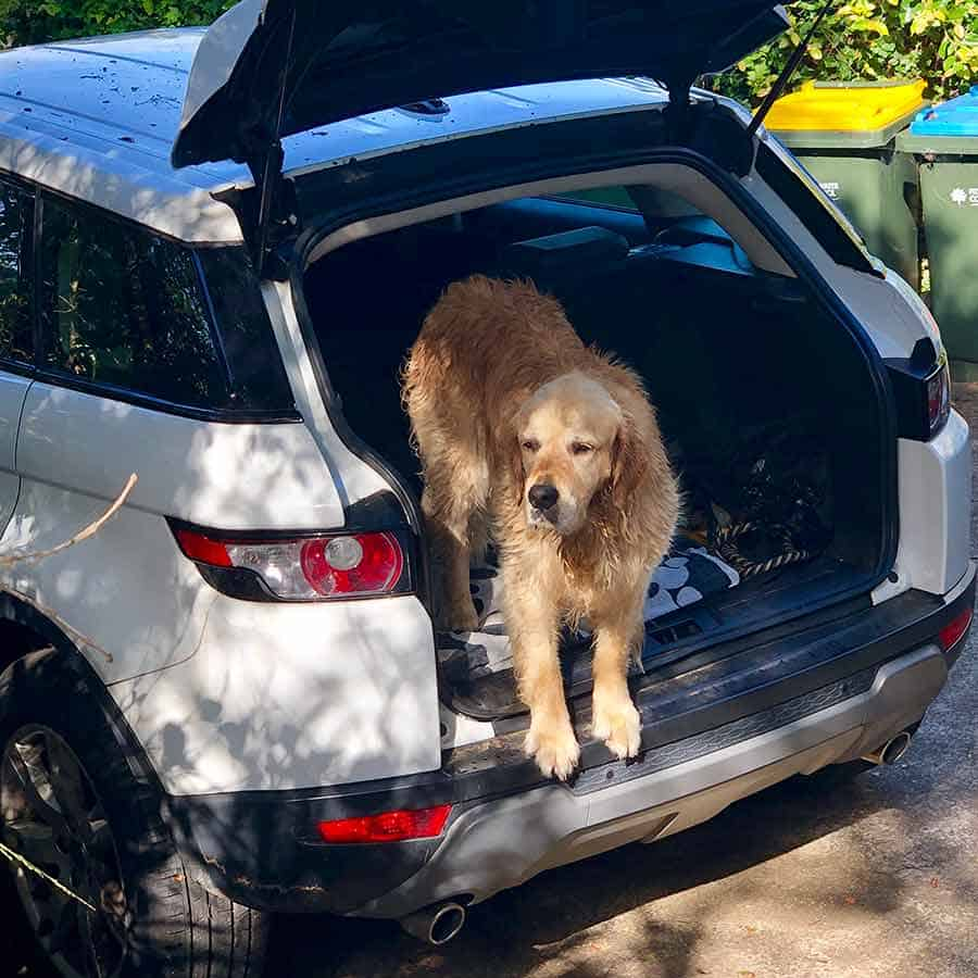 Dozer the golden retriever dog refusing to get out of the car