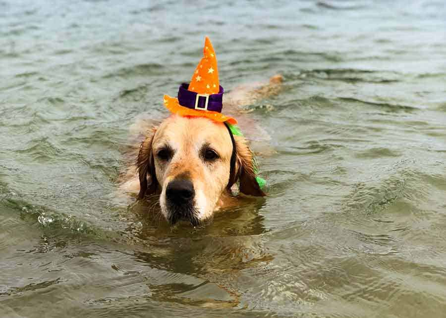 Dozer the golden retriever dog swimming with witches hat for Halloween