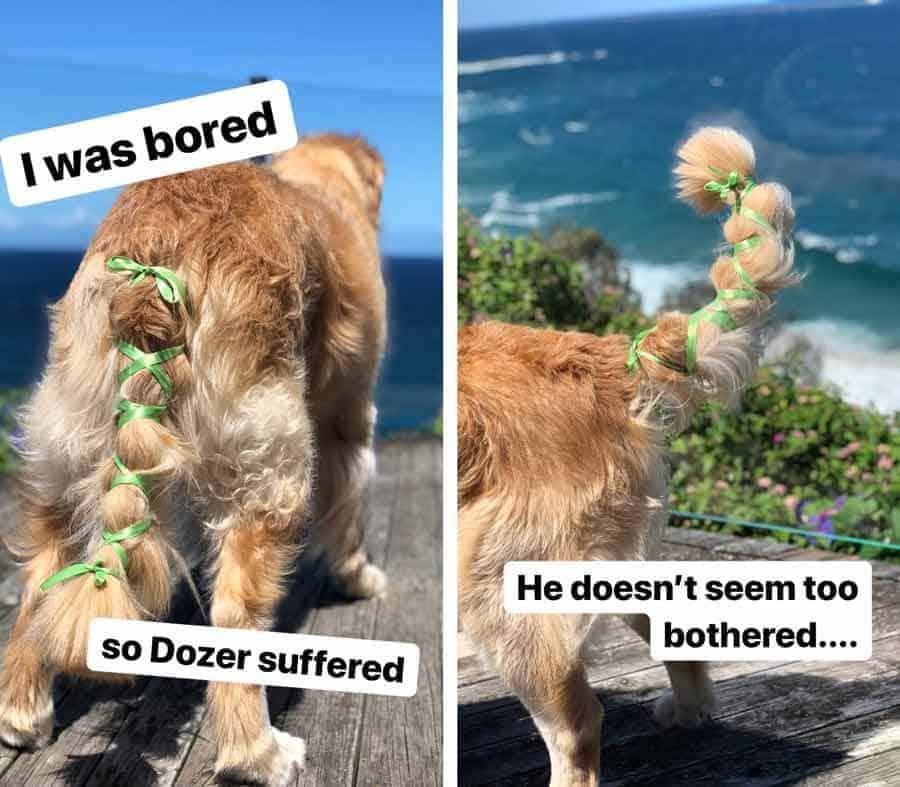 Dozer o cão retriever dourado com fita na cauda