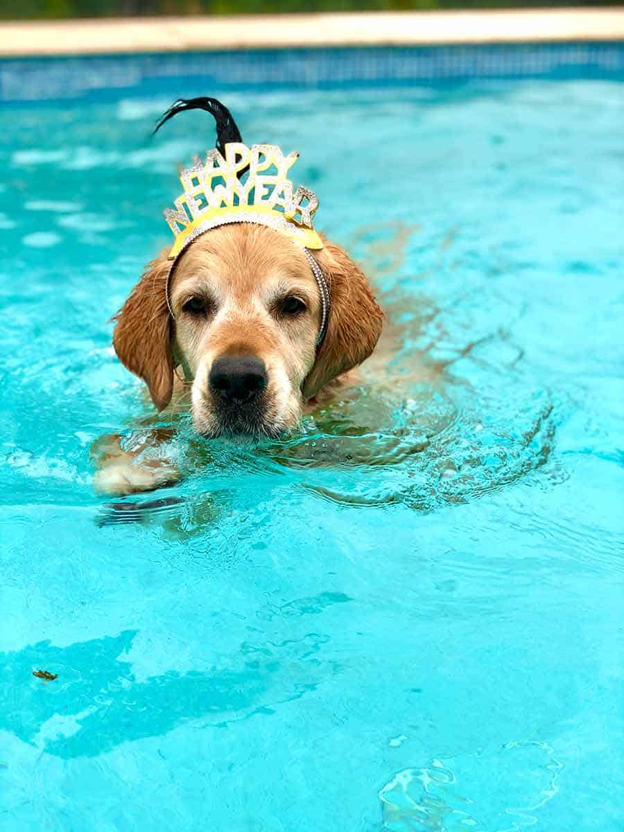 Dozer the golden retriever swimming New Years Eve 2020