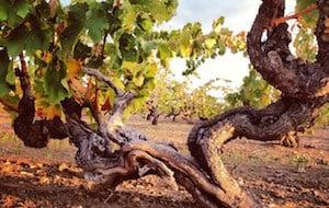 Grape vines at Turkey Flat vineyards