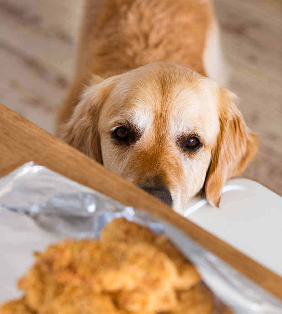 Dozer the golden retriever dog lusting after crunchy baked chicken tenders