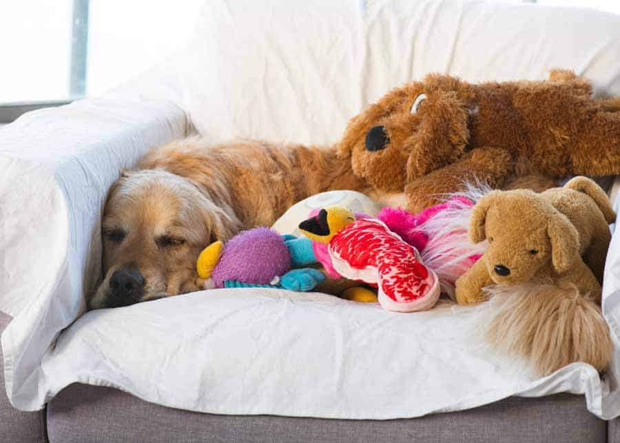 Dozer the golden retriever buried under toys on armchair