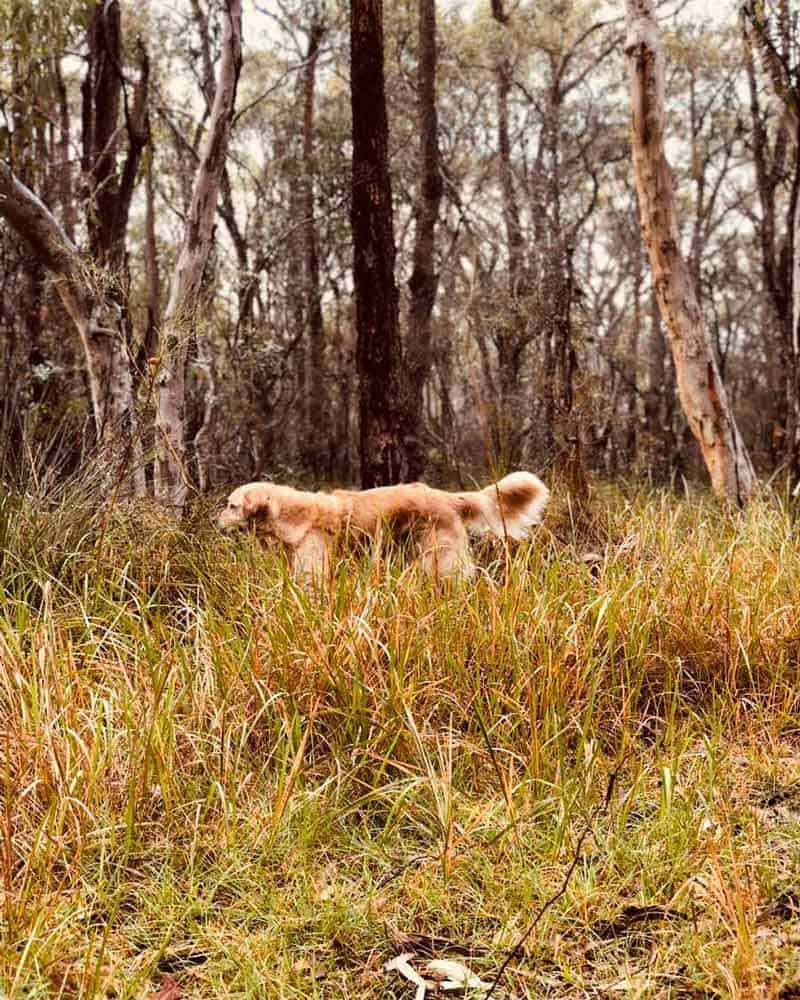 Dozer the golden retriever dog bush walk