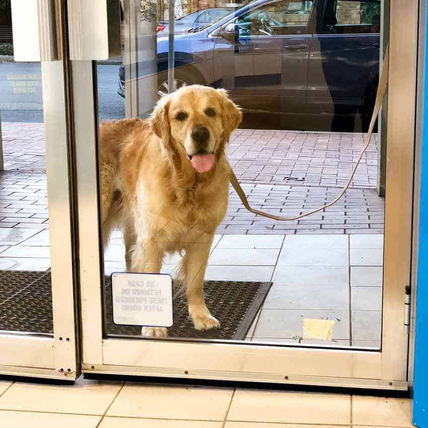 Dozer the golden retriever dog outside OPSM