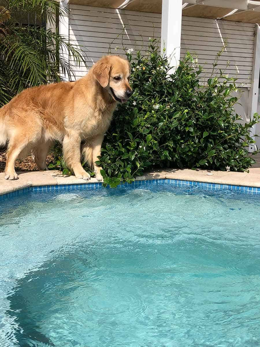 Dozer the golden retriever wanting to go in spa