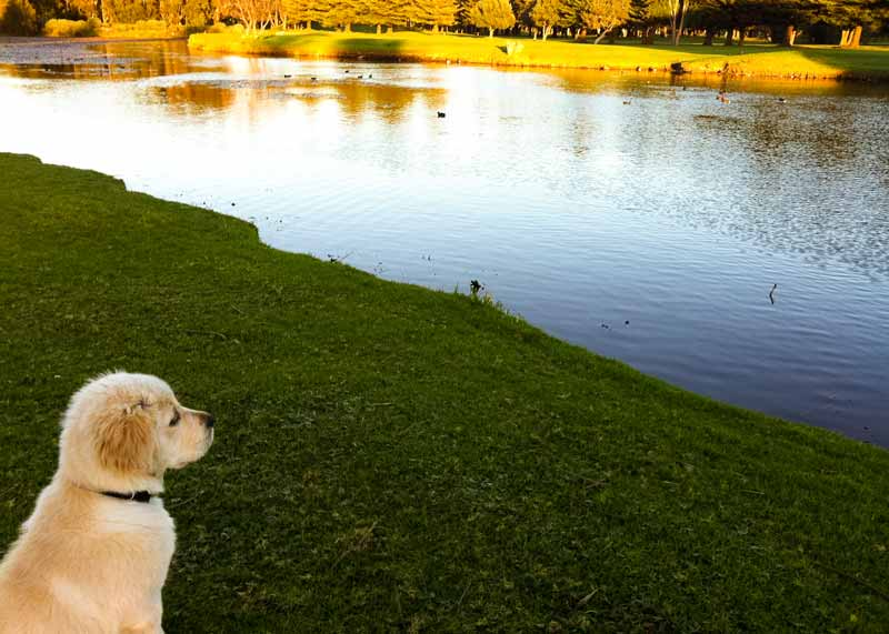 Dozer the golden retriever looking longingly out at pond with ducks