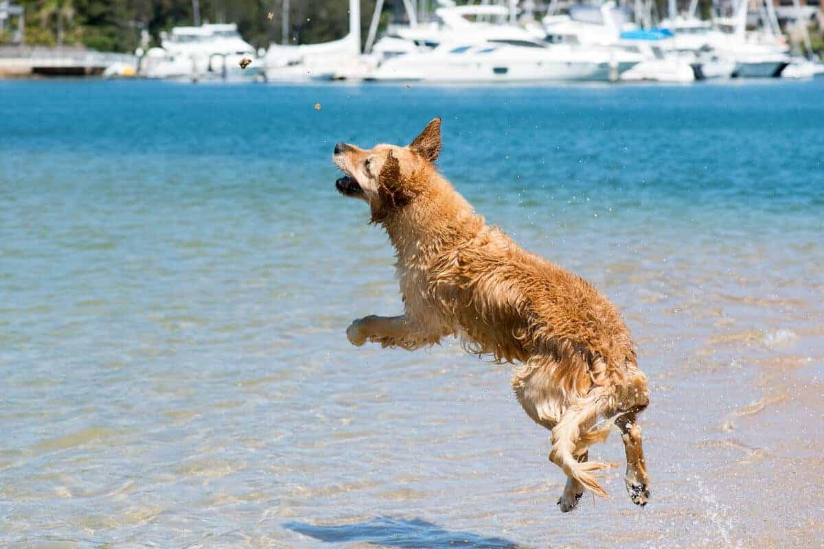 Dozer leaping to catch sand at Bayview dog beach