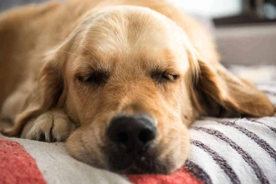 Dozer the golden retriever dog sleeping