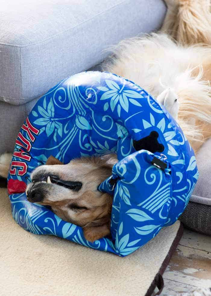 Dozer the golden retriever sleeping with inflatable cone