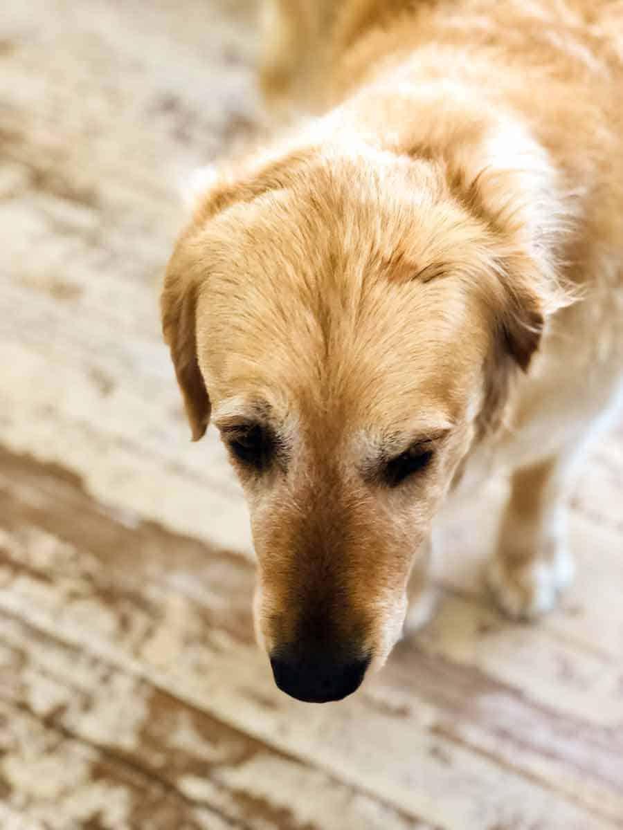 Dozer golden retriever dog chocolate ganache on head