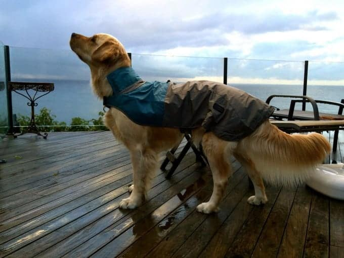 Dozer the golden retriever in a rain coat, looking up at rain clouds