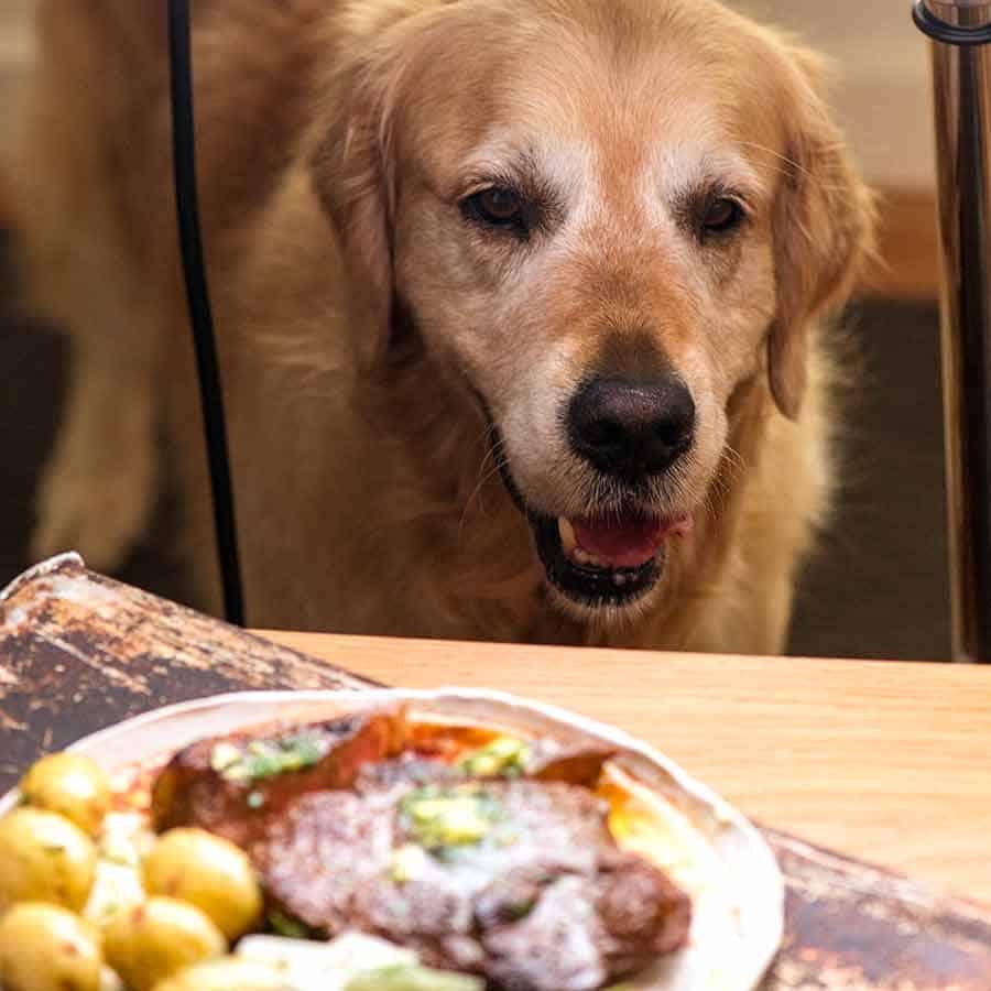 Dozer staring at steak