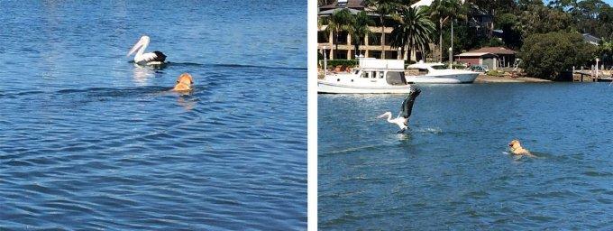 dozer-chasing-pelicans