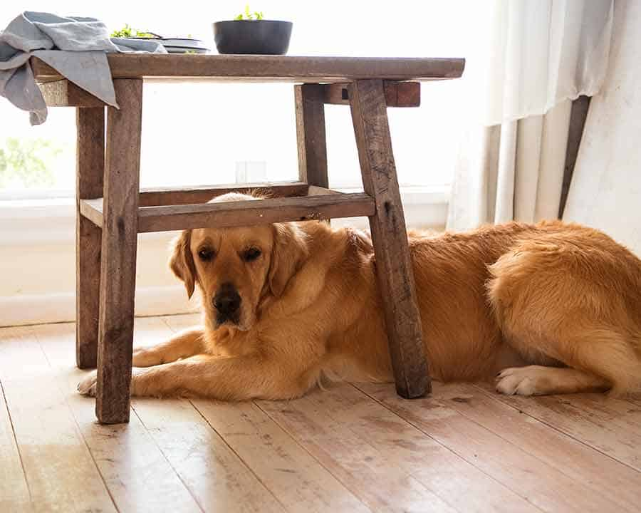 Dozer the golden retriever during photograph shooting of Cottage Pie