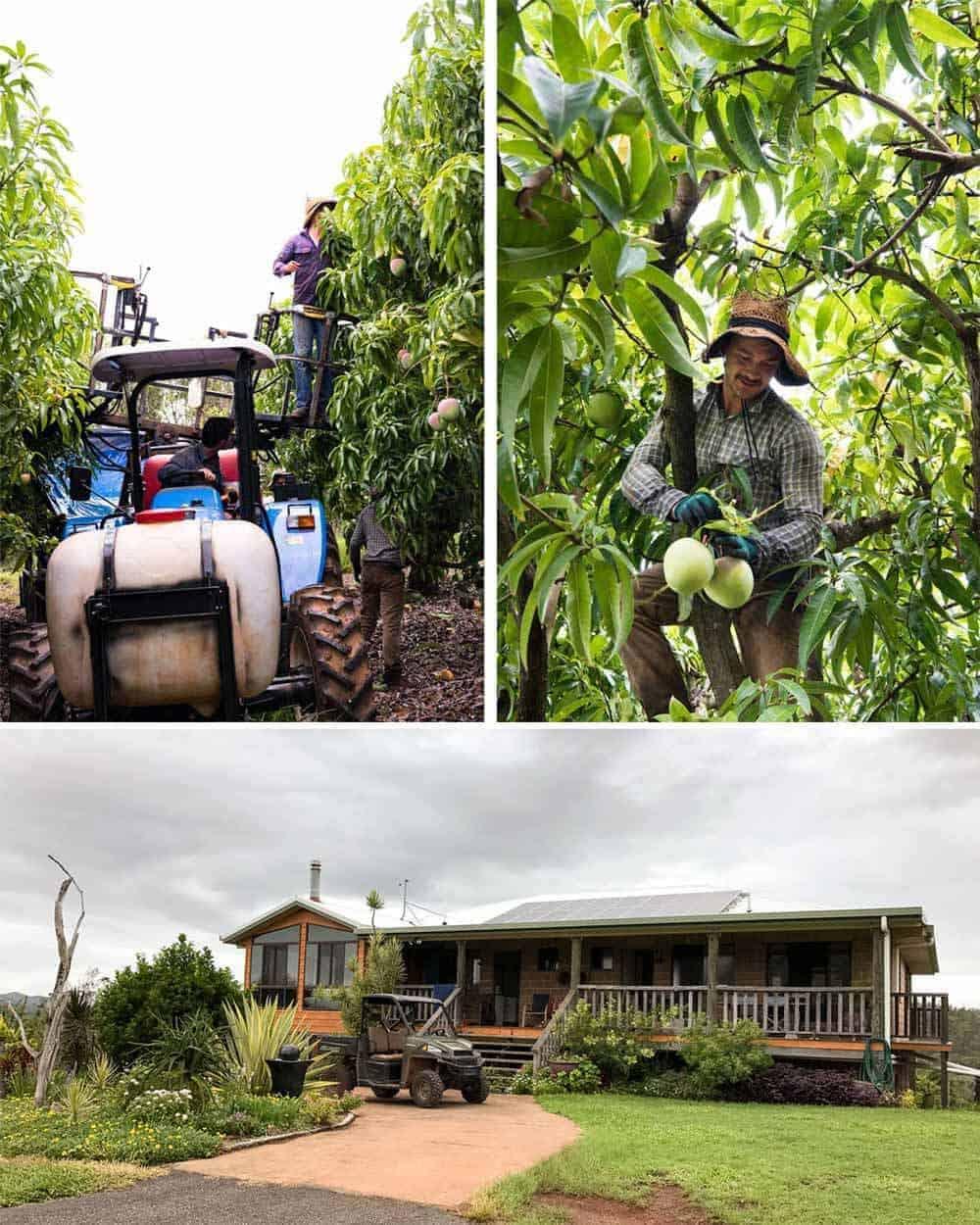 groves-mango-farm-2