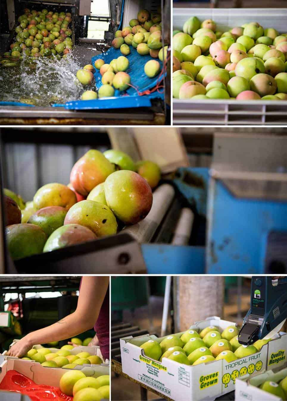 Cleaning and boxing of mangoes - on Groves Mango Farm, Queensland Australia