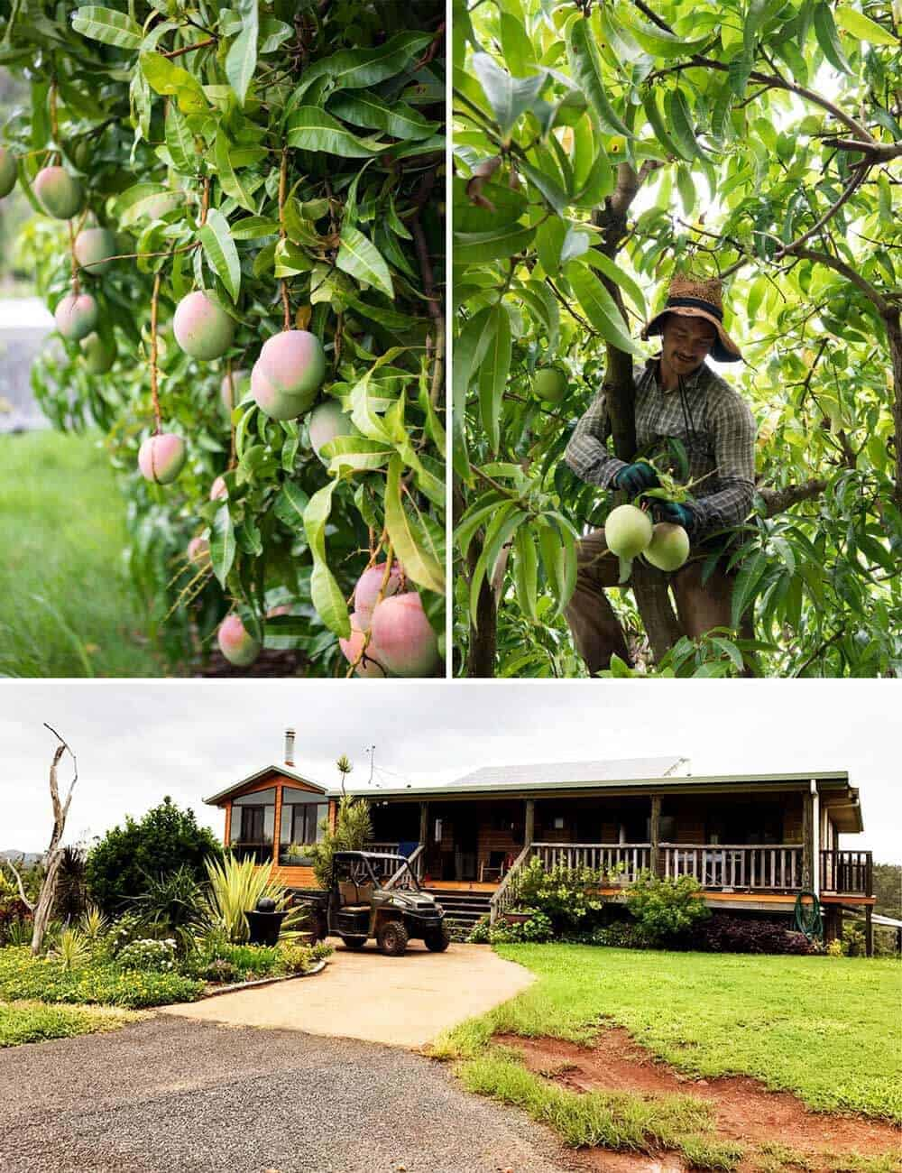 groves-mango-orchard-1