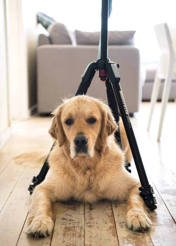 Dozer the golden retriever squeezing himself under the tripod legs