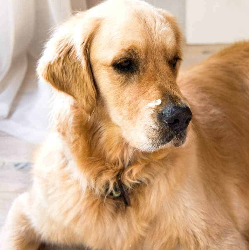 Dozer the golden retriever with dip or cream on his nose