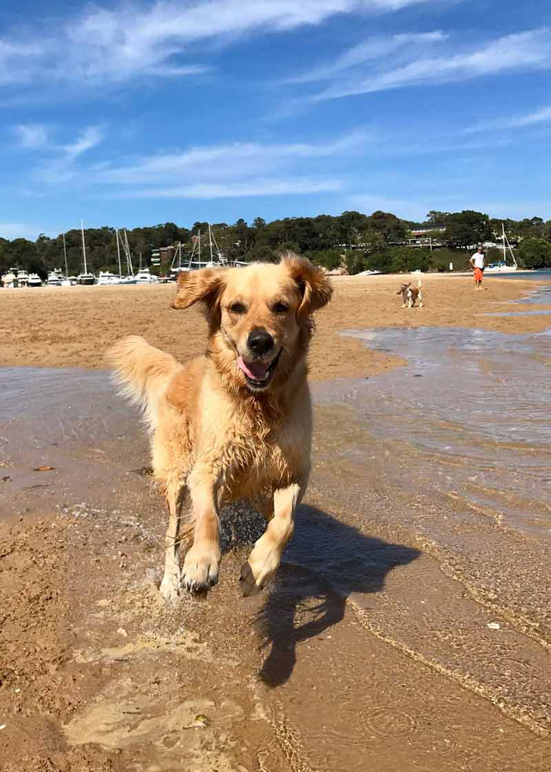 This is what a doggy smile looks like - Dozer the golden retriever running on the beach at Bayview