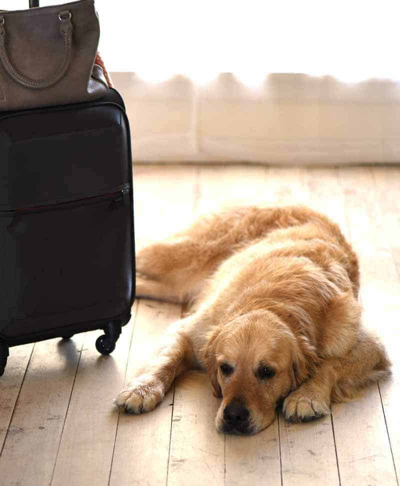 Dozer the golden retriever unhappy at the sight of suitcase
