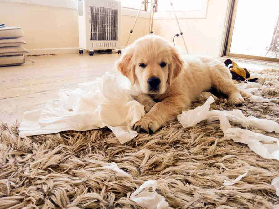 Dozer the golden retriever dog Kleenex puppy wanna be