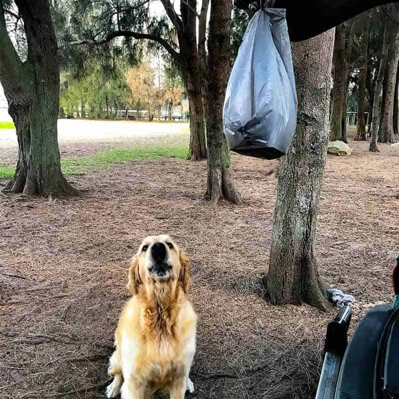 Dozer the golden retriever dog trying to get food tied to car left for homeless man at dog park