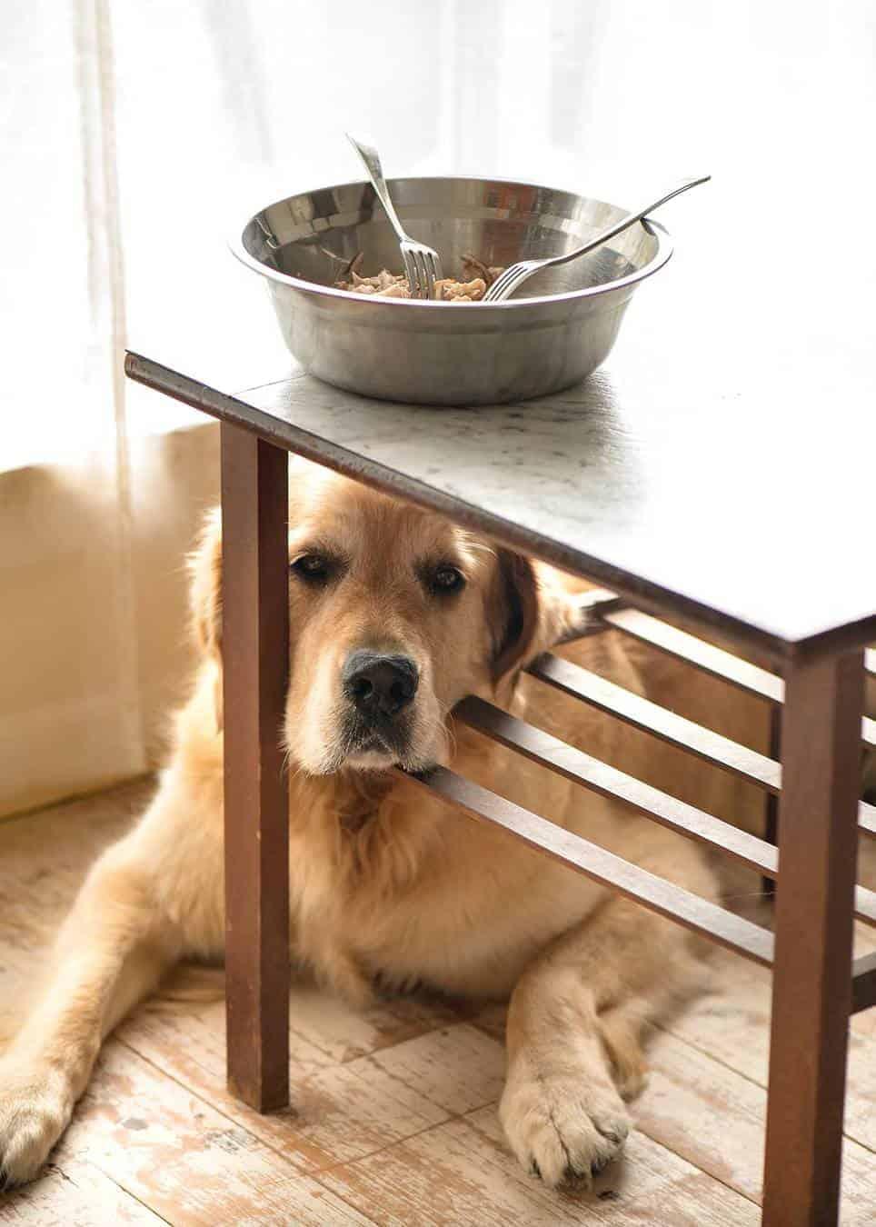 Dozer the golden retriever sitting under a bowl of shredded chicken