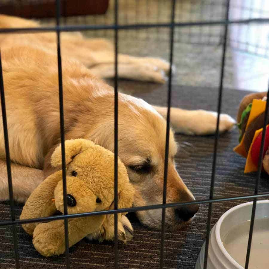 Dozer the Golden Retriever restricted to a play pen while injured