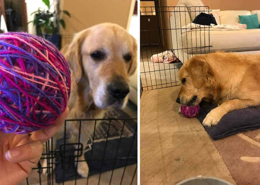Dozer the golden retriever playing with a woollen ball