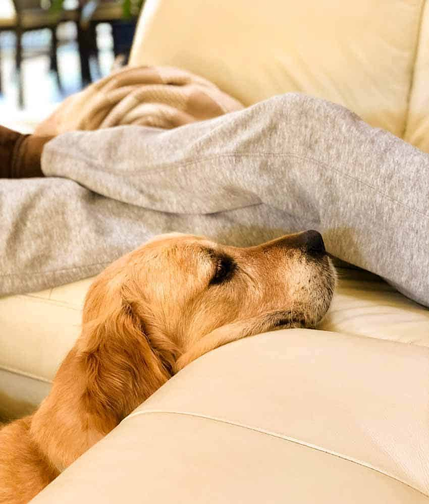 Dozer the golden retriever with chin on couch hoping for food