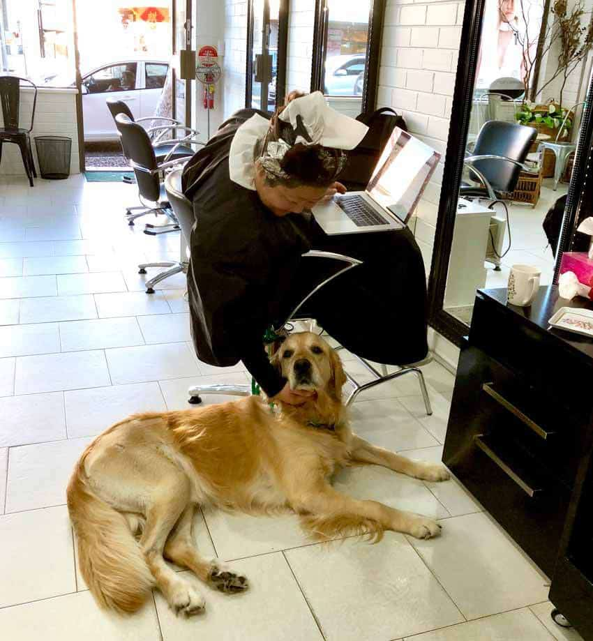 Dozer the golden retriever at the hairdresser