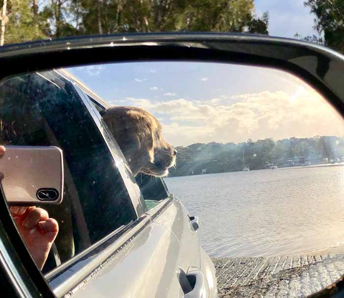 Dozer the golden retriever missing the dog beach