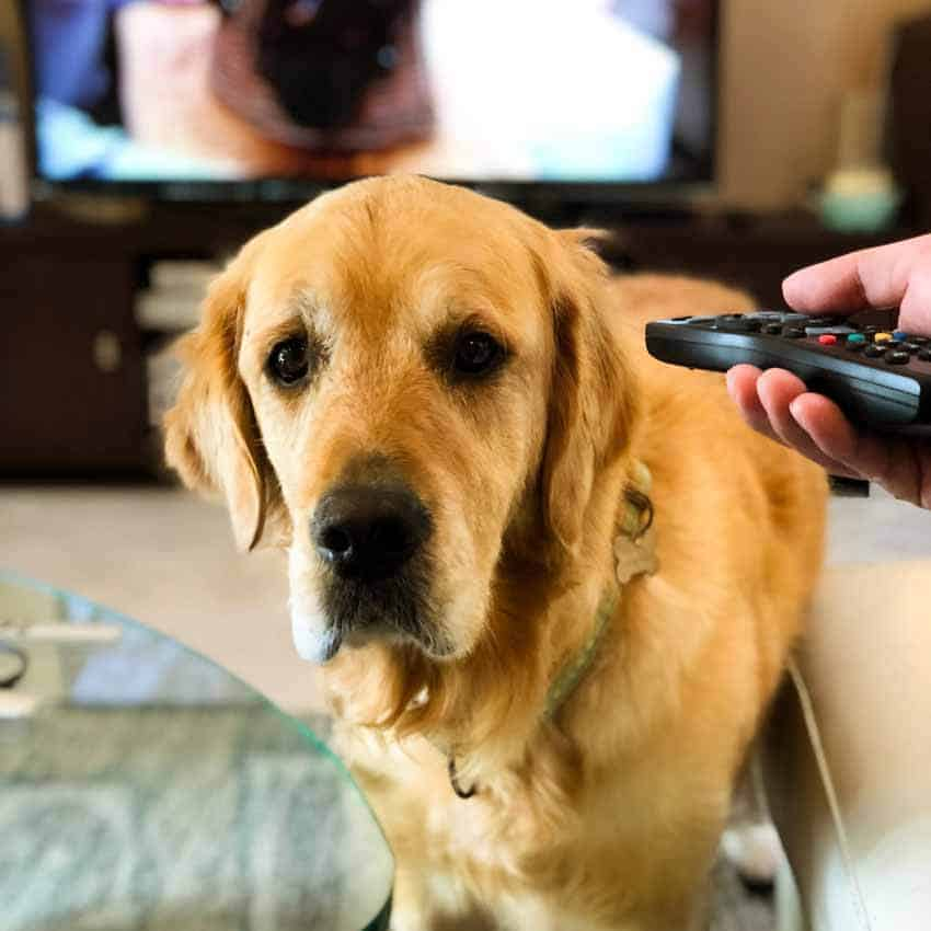 TV remote doesn't work through Dozer the golden retriever