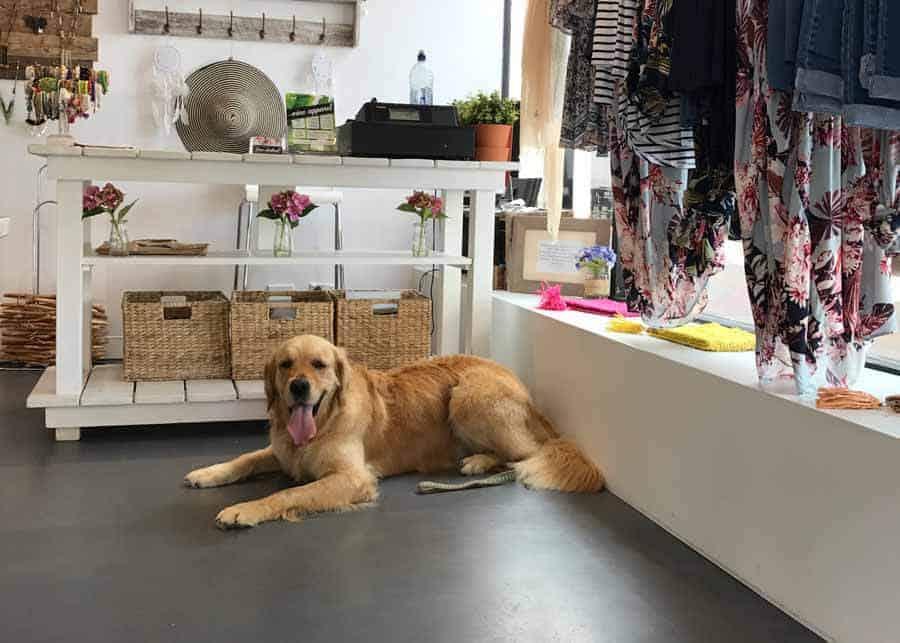 Dozer the golden retriever dog in a dress shop