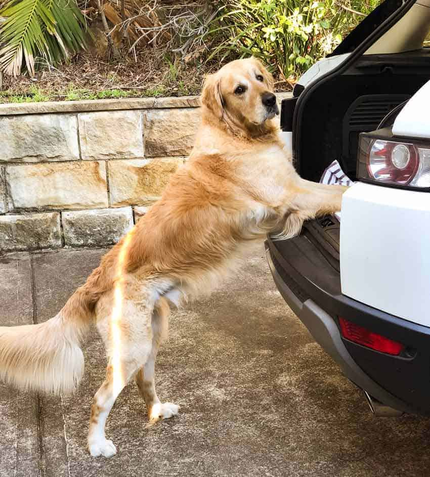 Dozer the golden retriever waiting to be lifted into the car