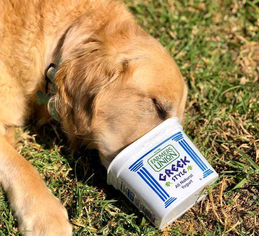 Dozer the golden retriever dog licking yoghurt container clean