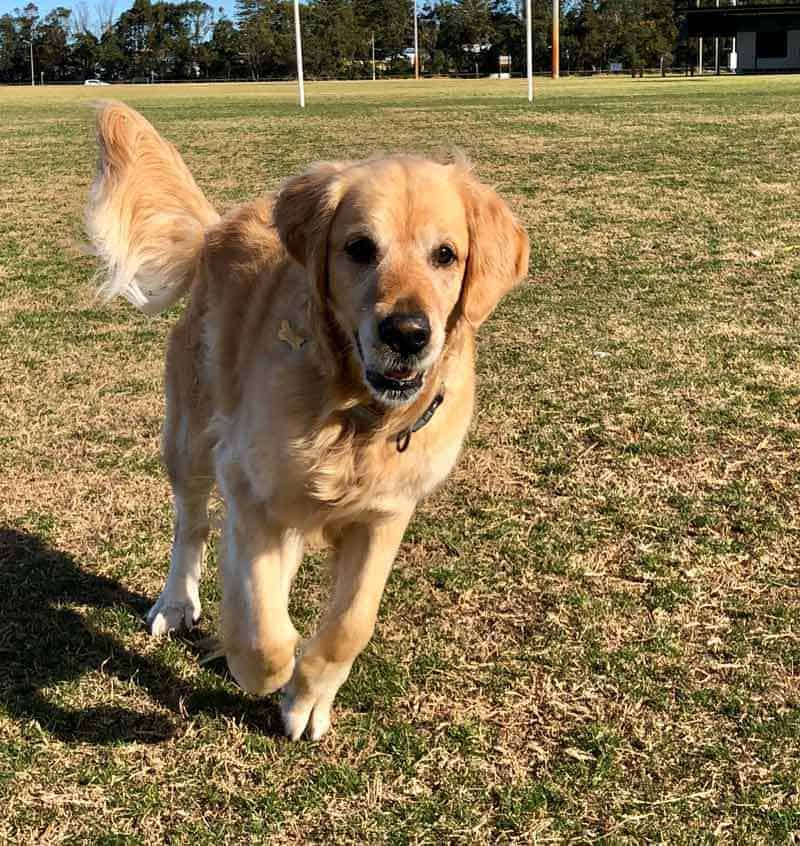 Dozer the golden retriever dog at park