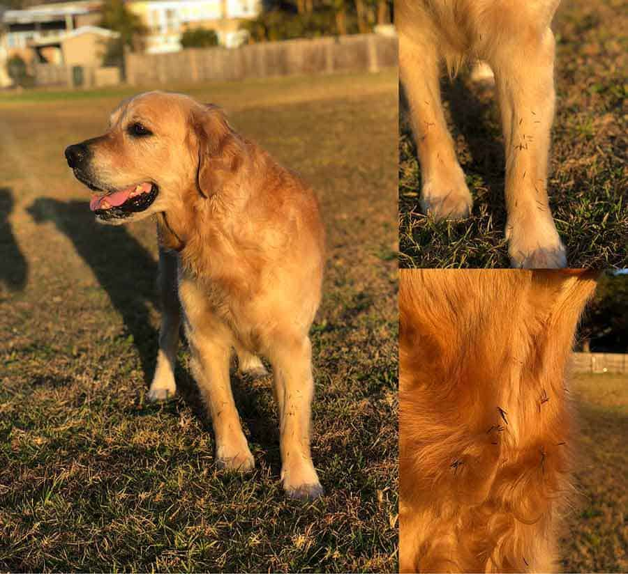 Dozer the golden retriever dog covered in burs