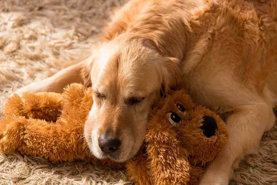 Dozer the golden retriever dog using a plush toy as a pillow
