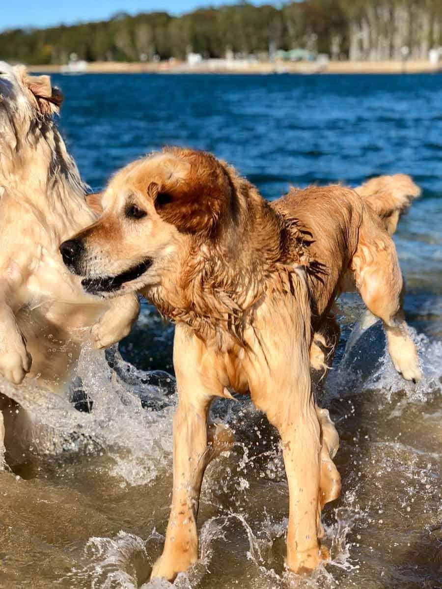 Dozer the golden retriever at Bayview dog beach September 2018