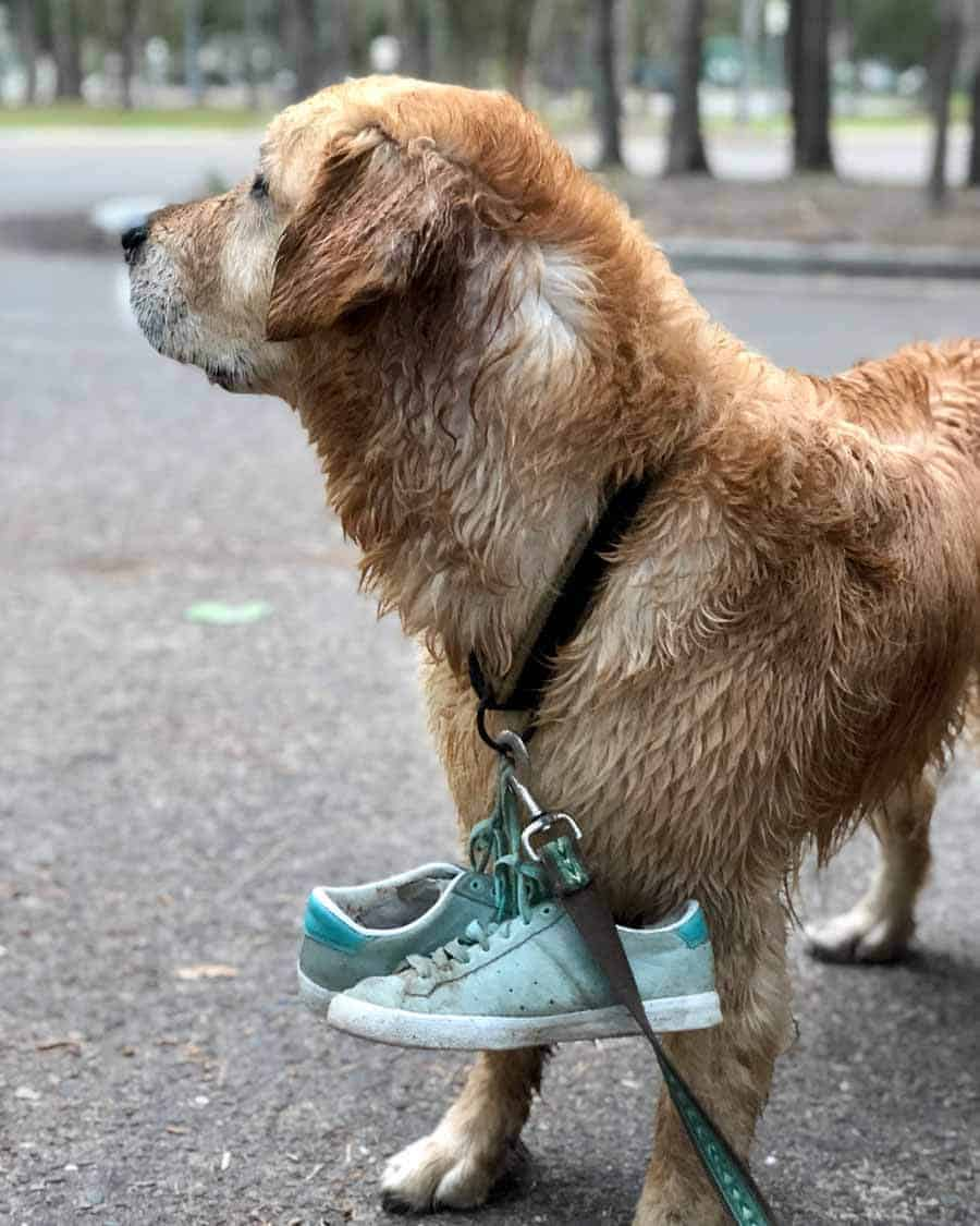 Dozer the golden retriever dog carrying sneakers