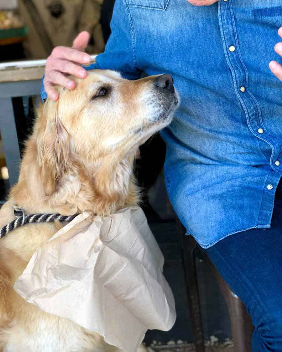 Dozer the golden retriever getting pats at the coffee shop