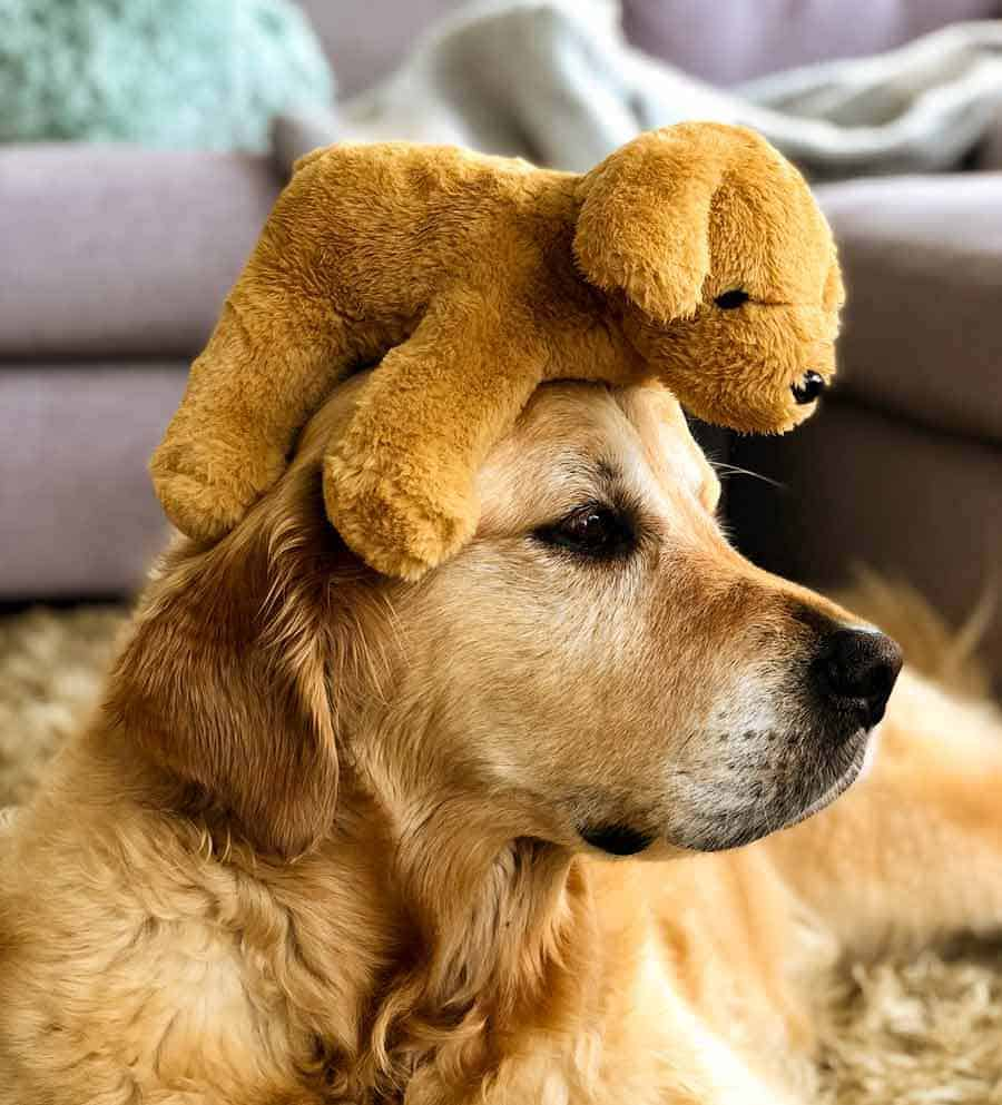 Dozer the golden retriever dog with toy dog on head