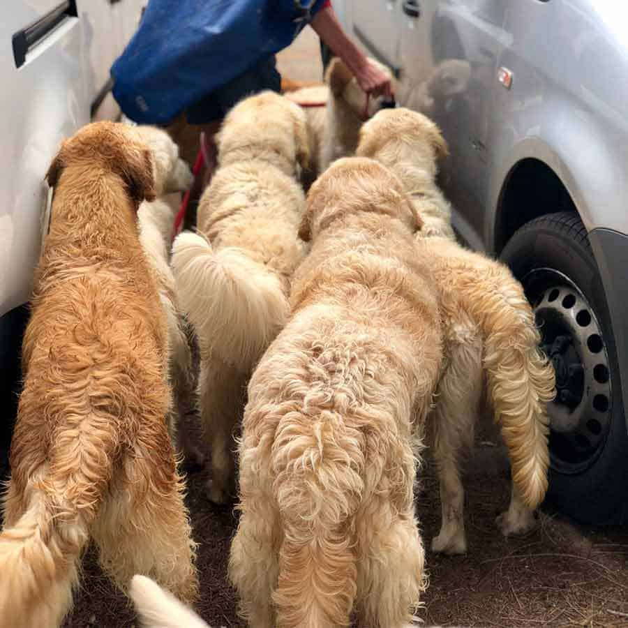 Group of golden retrievers at Bayview dog park