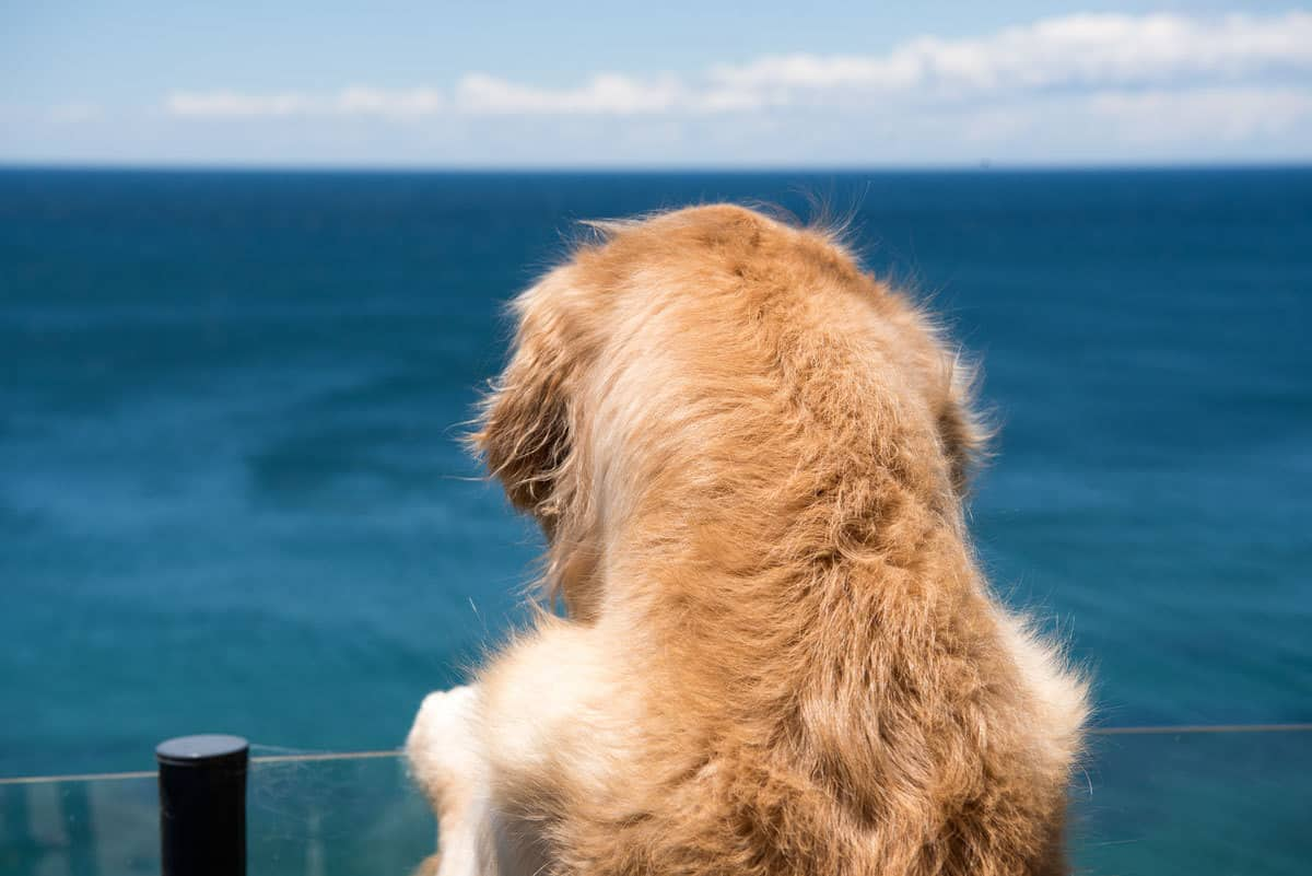 Dozer the golden retriever dog checking out the view of the ocean