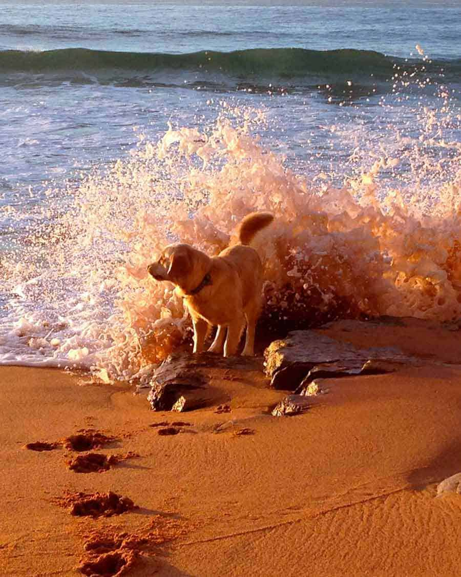 Dozer golden retriever dog Mona Vale beach